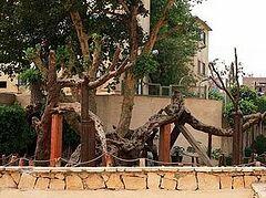 Коптская Церковь опровергло информацию о том, что в Каине срублено «Дерево Марии»