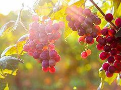 Божий виноградник