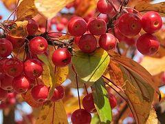 Райские яблочки. Рассказ