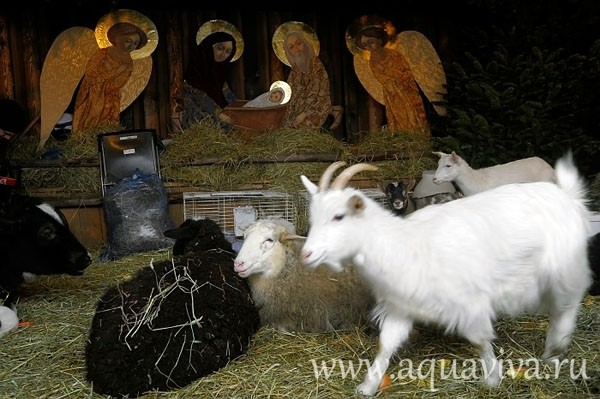 The manger dwellers: sheep, goats, and cows.