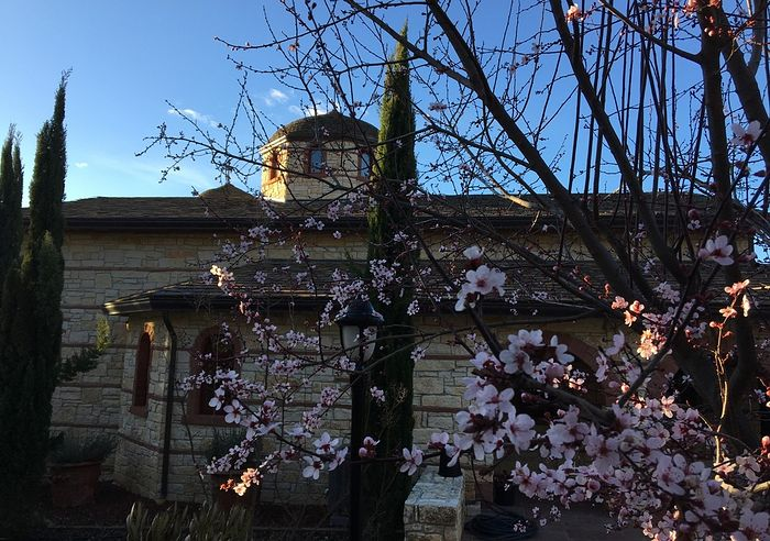The almond flowers in the Convent of the Life-giving Spring.