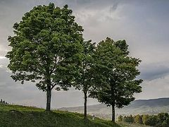 О трех деревьях, мечтавших стать большими и крепкими