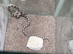 Snakes of the Panagia have again appeared in Kefalonia churches (+ VIDEO)