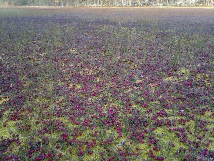 Хороший урожай клюквы на болоте
