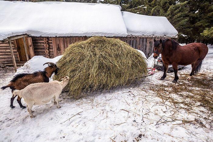 Монастырские козы и конь