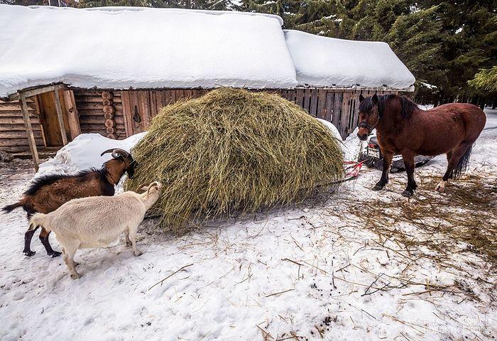 Манастирске козе и коњ.