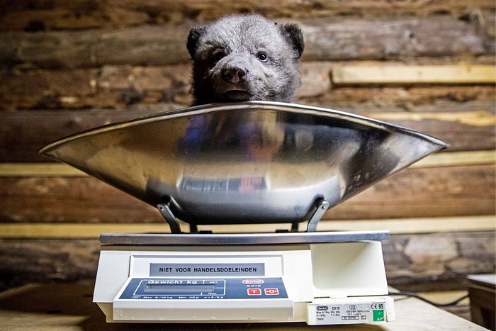 Реабилитация медвежат-сирот в Тверской области. Автор: Сергей Бобылев