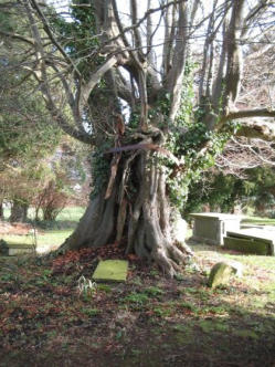 The beech with remnants of St. Congar's yew tree in Congresbury, Som. Photo: Congresburyhistorygroup.co.uk