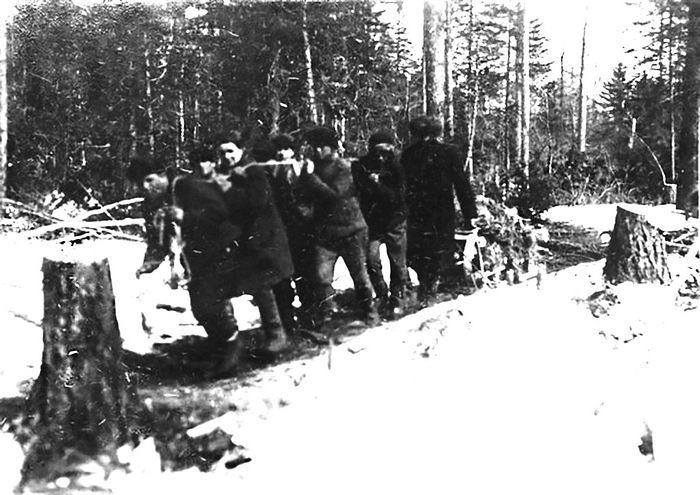 Трелёвка. Заключённые «впрягались в лямки и таскали стволы, так как лошадей в лагерях всегда было очень мало, а заключённых много»