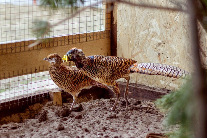Алмазные фазаны