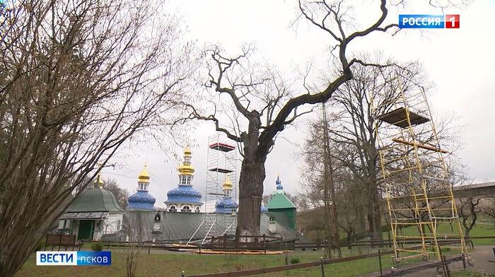 Псковичи могут поддержать 600-летний печорский дуб в голосовании за главное дерево России