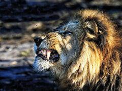 Яко лев рыкая