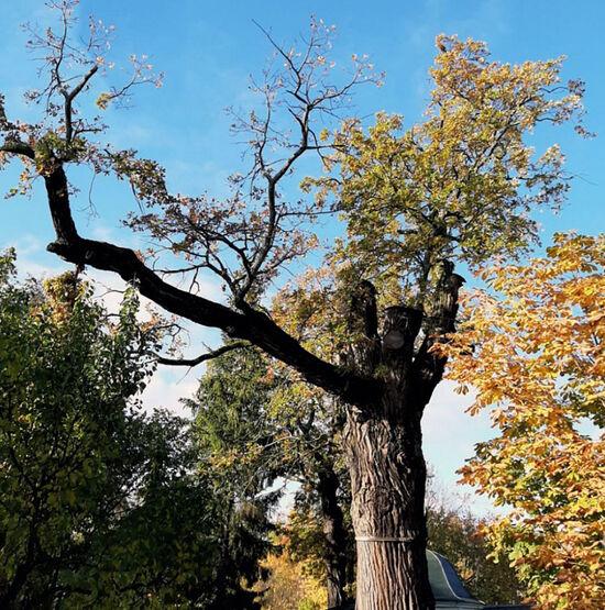 Псково-Печерский многовековой дуб