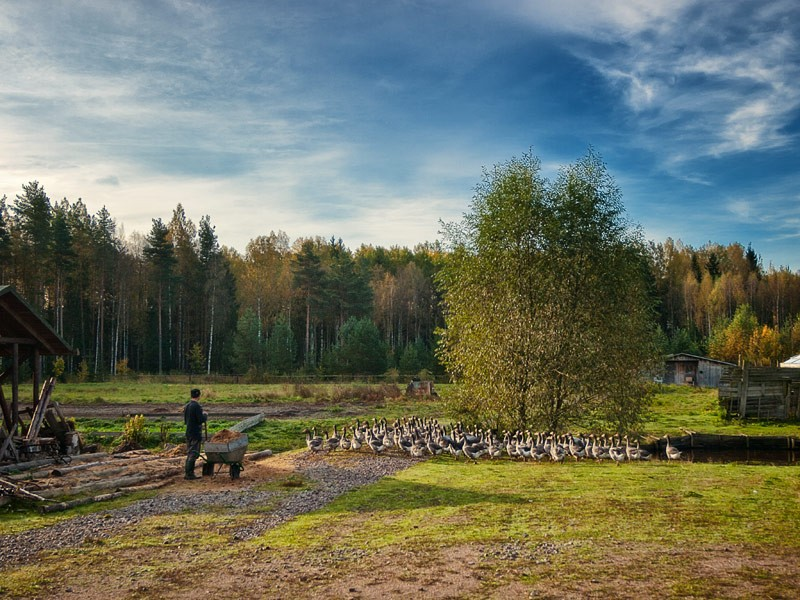 Скитские гуси